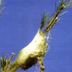 La procesionaria del pino, ciclo biológico, daños y métodos de control.