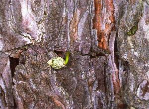 "Anclaje de la semilla de ""Visco"" en la corteza de un pino (Foto: V. Pérez Fortea)"
