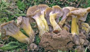 Cantharellus melanoxeros