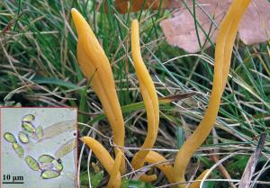 Clavulinopsis luteoalba