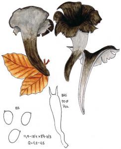 Esquema Craterellus cornucopioides