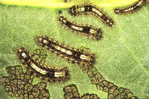 Larvas en segundo y tercer estadio (Foto: Enrique Martín Bernal)