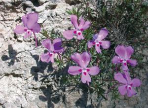 Conservacion de flora amenazada en castilla-la mancha MF1