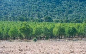 Influencia de la intensidad de poda sobre el desarrollo epidometrico de Pinus halepensis Mill GF3