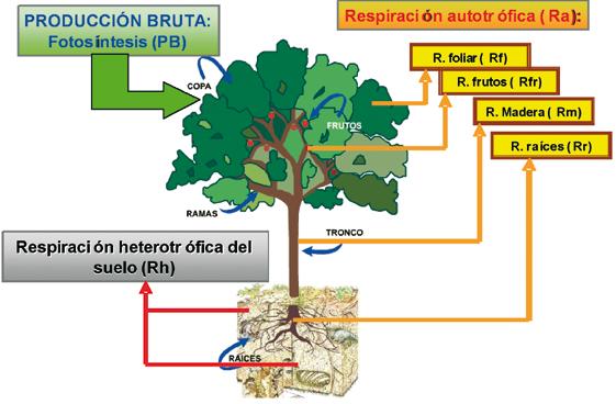 Los bosques como sumideros de CO2 incertidumbre en los calculos y necesidad de potenciar la investigacion LM3
