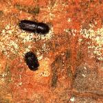 <em>ORTHOTOMICUS EROSUS</em> WOLL., perforador de pinos: ciclo biológico, daños y métodos de control.