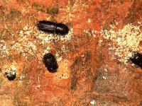 Adulto de Orthotomicus erosus (Foto: Enrique Martín Bernal)