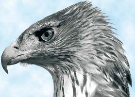Aguila perdicera en el parque natural del Alto Tajo Esfuerzos por la conservacion de una raaz en peligro de extincion F2
