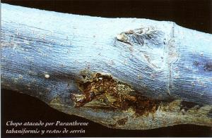 Chopo atacado por Pranthrene tabaniformis y restos de serrín (Foto: Enrique Martín Bernal)