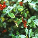 <em>ERWINIA AMYLOVORA</em>, el fuego bacteriano de las rosáceas: ciclo biológico, daños y métodos de control.