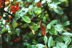 Cotoneaster afectado por Fuego bacteriano (Foto: M.Cambra Álvarez)