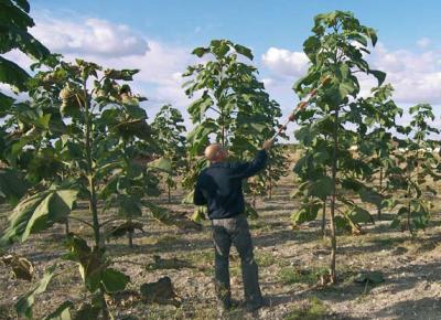 El cultivo de Paulonia Pawlonia elongata x fortuneiem para la obtencion de madera y biomasa en Castilla-La Mancha Primeros resultados GF4