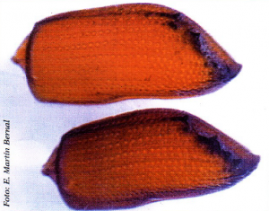 Élitros de Orthotomicus erosus (Foto: Enrique Martín Bernal)