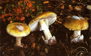 FICHA Amanita phalloides