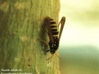 Insecto adulto de Pranthrene tabaniformis (Foto: Enrique Martín Bernal)