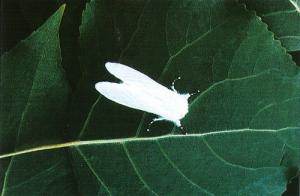 Insecto adulto en posición de reposo (Foto: Enrique Martín Bernal)