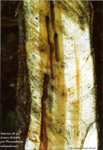 Interior de un tronco dañado por Pranthrene tabaniformis (Foto: Enrique Martín Bernal)