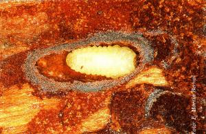 Larva de Tomicus piniperda (Foto: Enrique Martín Bernal)
