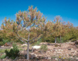 Los grandes incendios forestales de la sierra de Alcazar-Segura consecuencias y medidas de restauracion IF3