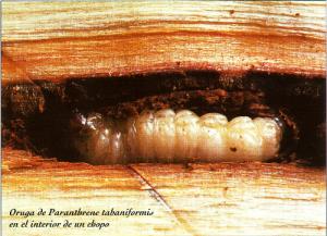 Oruga Pranthrene tabaniformis en el interior de un chopo (Foto: Enrique Martín Bernal)