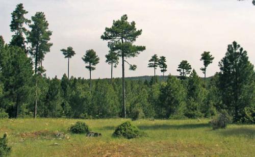 Regeneracion natural de los montes de pino laricio en la serrania de Cuenca durante el periodo 2000-2009 RR4
