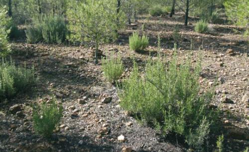 Utilizacion de especies de matorral para repoblaciones en la provincia de Albacete RR3