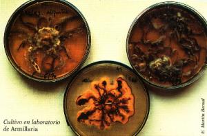 Cultivo en laboratorio de Armillaria (Foto: E. Martín Bernal)