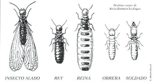 Distintas castas de Reticulitermes lucifugus (Foto: E. Martín Bernal)