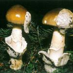 <em>Amanita submembranacea</em>
