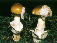 FICHA Amanita submembranacea