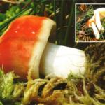 <em>Russula emetica.</em>