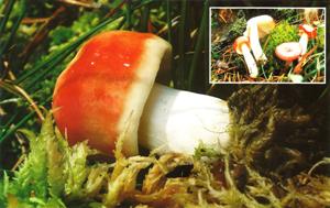 FICHA Russula emetica