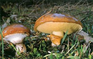 FICHA Suillus luteus