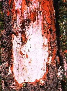 Podredumbre blanca en el cuello de la raiz (Foto: E. Martín Bernal)
