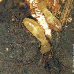 Reconocimiento y detección de termitas. Daños y control.
