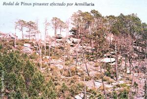 Rodal de Pinus pinaster afectado por Armillaria (Foto: E. Martín Bernal)