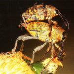 GORGOJO PERFORADOR DE FRUTOS, <em>Curculeo elephas</em> Gyll. Coleptero de Fam. <em>Curculionidae</em>.