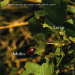 Daños causados por larvas y adultos de M.populi (Foto: E. Martín Bernal)