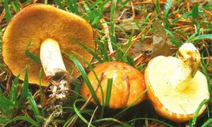 FICHA Suillus granulatus