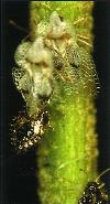 Imago de Corythuca ciliata