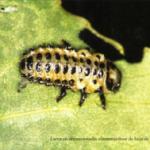 CRISOMÉLIDO DEL CHOPO, <em>Melasoma populi</em> L. Fam. <em>Chrysomelidae</em>.