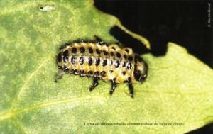 Larva en último estadio alimentándose de hoja de chopo (Foto: E. Martín Bernal)