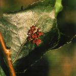 Puesta del insecto sobre el haz de la hoja de chopo (Foto: E. Martín Bernal)