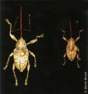 Insectos adultos: hembra a la izquierda, macho a la derecha (Foto: E. Martín Bernal).