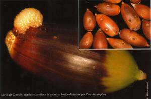 Larva de Curculeo elephas y, arriba a la derecha, frutos dañados por Curculeo elephas (Foto: E. Martín Bernal).