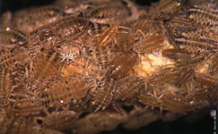 Colonia de insectos alimentándose (Foto: E. Martín Bernal).