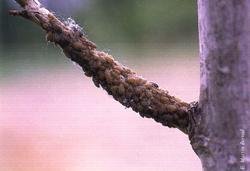 Colonia de pulgones alimentándose sobre ramilla joven (Foto: E. Martín Bernal).