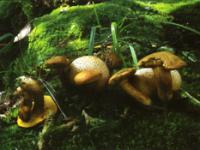 Xerocomus parasiticus.