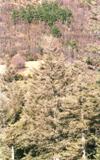 Fuerte defoliación en arbolado adulto de Abies alba Miller (Foto: E.Martín Bernal).