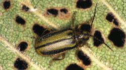 Insecto adulto alimentándose (Foto: E. Martín Bernal).